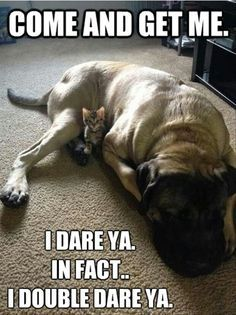 A kitten who knows his English Mastiff buddy will protect him, even though he is sleeping. Too cute.