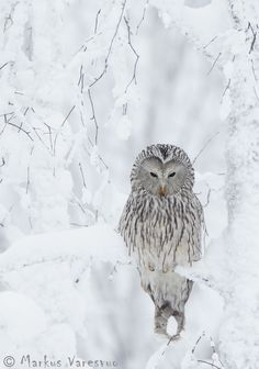An owl in the snow