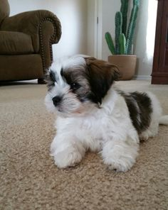 My new Baby Shorkie @ 10 weeks old Shorkie Puppies, Teddy Bear Puppies, Havanese Dogs, My Teddy Bear, Puppys, Cute Puppies, Cute Dogs, Bear Puppy, Maltipoo