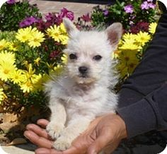 Lathrop, CA - Chihuahua/Poodle (Miniature) Mix. Meet Chappie, a puppy for adoption. http://www.adoptapet.com/pet/12646852-lathrop-california-chihuahua-mix