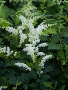 """Astilbe Bridal Veil Type: Perennials Height: Medium to tall 28"""" (Plant 18"""" apart) Bloom Time: Early Summer to Late Summer  Sun-Shade: Half Sun/ Half Shade to Full Shade  Zones: 4-8   Find Your Zone Soil Condition: Normal, Clay, Acidic  Flower / Accent: White / White"""