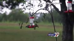 MARSHALL COUNTY, Ala. - Ramona Edwards loves to take pictures of hummingbirds.  She lives in Grant and keeps the feeders full for the little beauties. This Wednesday, Ramona spotted an unusual sigh...