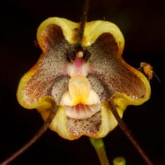 Dracula trigonopetala from Ecuador - Flickr - Photo Sharing!