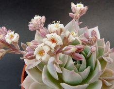Sedum suaveolens fiore