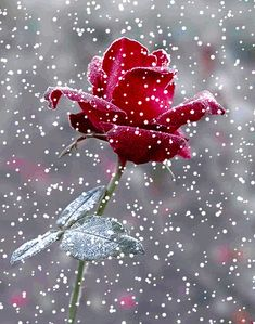 Shared by 𝓈𝒶𝓂𝒶𝓃𝓉𝒽𝒶 𝓈𝑒𝓇𝑒𝓃𝒶 ✰. Find images and videos about gif, winter and christmas on We Heart It - the app to get lost in what you love. Beautiful Gif, Beautiful Roses, Beautiful Ladies, Beautiful Things, Love Rose, Pretty Flowers, Gif Bonito, Snow Rose, Hybrid Tea Roses