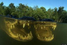 Amazing Photos Of Alligators In The Everglades