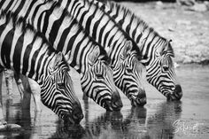 Das nennt man wohl perfektes Timing... #wildlifephotography #offtopic #etoshanationalpark #photography #picoftheday #wildlife #zebra #tierfotografie #animalphotography #naturephotography #nature_perfection #naturfotografie #badenwürttemberg #bodensee #thurgau #konstanz #frauenfeld #winterthur #schaffhausen Wild Animals Pictures, Animal Pictures, Wild Life, Schmidt, Winterthur, Zebras, Photography, Animal Photography, Nature Photography