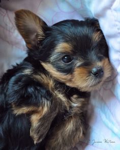 Yorkie puppy cute Yorkshire terrier