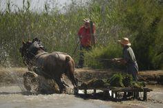El tiràs arrossegat per un cavall per portar les garbes més a prop dels plantadors. Plantar, Horses, Animals, Traditional, Animales, Animaux, Horse, Words, Animal
