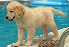 Cutest Golden Retriever Pictures | Cute Pictures of Golden Retrievers