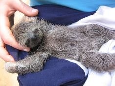 OMG I cried just seeing the face of this poor baby orphaned!! :( - Orphan Sloth by Phillie Casablanca, via Flickr