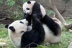 Panda cub wrestling with his mom.