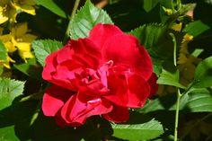 Seinän Flammentanz  ruusu
