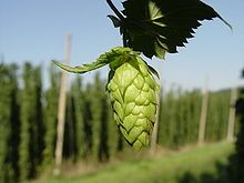 The hop plant is a vigorous, climbing, herbaceous perennial, usually trained to grow up strings in a field called a hopfield, hop garden, or hop yard when grown commercially. Many different types of hops are grown by farmers around the world, with different types being used for particular styles of beer.