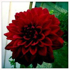 This is Kelly Knight's very first Dahlia. | Mighty Girl