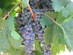 Cabernet Franc Grapes