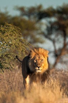 Planning a trip to South Africa? Read our month by month description of the best time to go to South Africa. Lions South Africa, Visit South Africa, Angry Animals, Jungle Animals, Wild Animals, Lion Love, Lion Pictures, Safari, African Animals