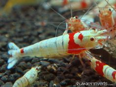 SSS Grade Mosura Crystal Red Shrimp with Crown