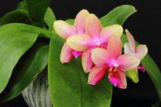 Phal Sweet Memory 'Liodoro'
