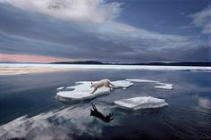 Jim Brandenburg, National Geographic  White Wolf Leaping