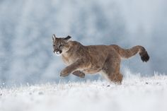 Photograph Puma by Pavel Blažek on 500px