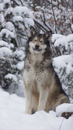 Wolf Sanctuary - Fresh snow makes me happy! ~Reese Get Informed with Worthy… Wolf Photos, Wolf Pictures, Animal Pictures, Beautiful Creatures, Animals Beautiful, Cute Animals, Wolf Spirit, Spirit Animal, Der Steppenwolf