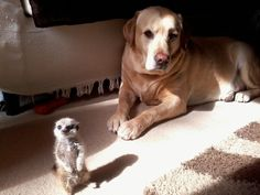 A meerkat and a dog who are totally comfortable with their friendship and frankly wondering why you are looking at them like that.