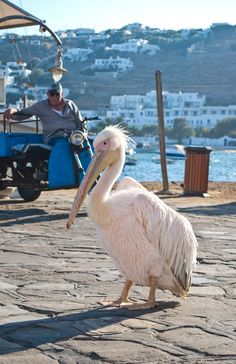 Petros the Pelican - Wandering mascot of the Greek island of Mykonos #traveltoGReece