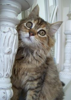 Bella behind the candlesticks ~ Maine Coon Cat Kitty Kitten {Photo by: K. Porcher ~ True Passionista on Pinterest}