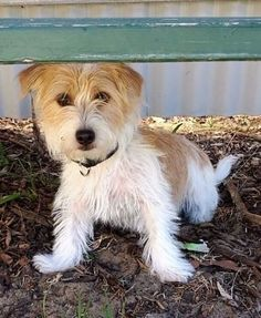 Jack ~ 7 months old male Jack Russell Terrier X ~ adopted 23.12.2016