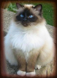 Himalayan or ragdoll cat