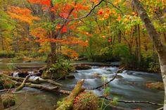 Autumn leaves in Oirase, Aomori pref. Japan