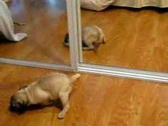 cute puppy videos - Puggle Identity Crisis