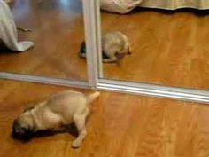 I can't NOT laugh at puppies barking at themselves in mirrors. It's cute!