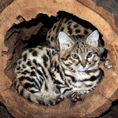 The Black Footed Cat has a head and body length of about 15 inches and a tail length about 7 inches. Male black footed cats weigh about pounds, but females can weigh as little as pounds as an adult. (If they werent wild animals I would want one! Animals And Pets, Cute Animals, Animals Planet, Wild Animals, Rusty Spotted Cat, Leopard Cat, Cheetah, Black Footed Cat, Domestic Cat Breeds