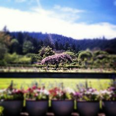 View of @butchartgardens #VictoriaBC