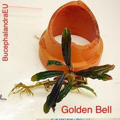 Bucephalandra sp. Golden Bell Freshwater Plants, Tropical, Fish Tanks, Aquatic Plants, Planted Aquarium, Natural, Fresh Water, Flora, Europe