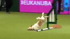 Ozzy Man Reviews: Olly at Crufts https://youtu.be/TK2d0C0IGtA