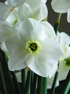 """Angel - icy white giant of a flower with beautiful form and substance; a white cup with a green-eye; a winner on the show bench and a clear bright white for the garden; 14""""-18""""; mid-late spring."""