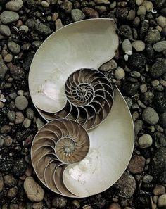 Edward Weston, Nautilus Shells, 1947 (ca) Luminous Lint