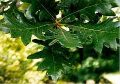 In 1941, Maryland designated the White Oak (Quercus alba) as the State Tree (Chapter 731, Acts of 1941; Code General Provisions Article, sec. 7-310).