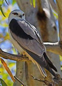 Australische bastaardwouw - Elanus axillaris