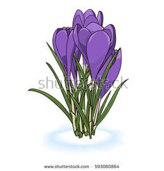 Vector illustration of crocuses of saffrons in the snow on the white background.