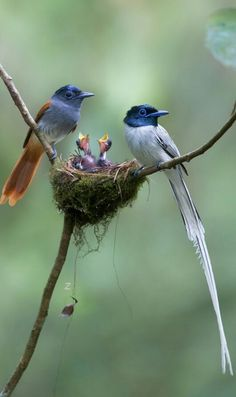 Malagasy Paradise flycatcher pair with chicks