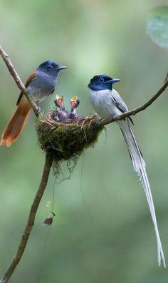 Fairy Flycatchers.
