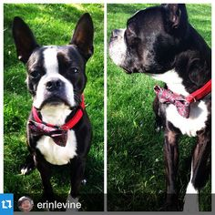 Happy 8th Birthday to this handsome devil who is rocking a Christian Dior bow tie! #thrufftypup #etsy #etsyshop #etsyseller #repost @erinlevine with @repostapp.