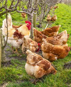 and pets and pets vocabulary cards the cay, difference between pets and domestic worksheet islamic for grade, animals and pets hot calendar 2018 february monthly calendar. Farm Animals, Animals And Pets, Cute Animals, Keeping Chickens, Raising Chickens, Gado Leiteiro, Farm Photography, Chickens And Roosters, Organic Chicken