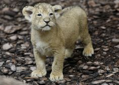 Quadruplet Indian Lion cubs made history at the Budapest Zoo. Born on February 15th, the cubs were the first of their species born in Hungary. http://www.zooborns.com/zooborns/2013/03/indian-lion-quadruplets-make-hungarian-history-at-budapest-zoo.html