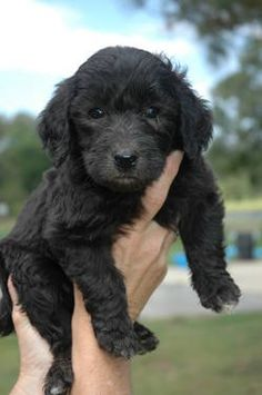 Black F1b Goldendoodle from out in the