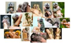 """Finger monkeys"": Pygmy marmosets"
